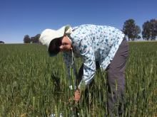 Ausplow researcher and former CSIRO scientist specialising in microbiology, Dr Margaret Roper, taking plant head counts at the Ausplopw  Quairading trial site.