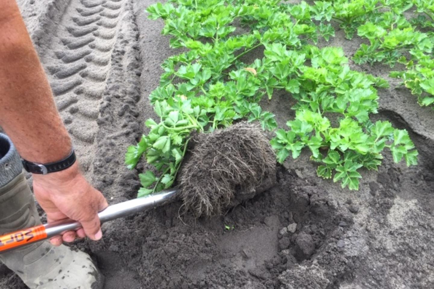 Healthy celery roots are evident int his high-yielding letrtuce bed which was deep tilled after the crop was sown.