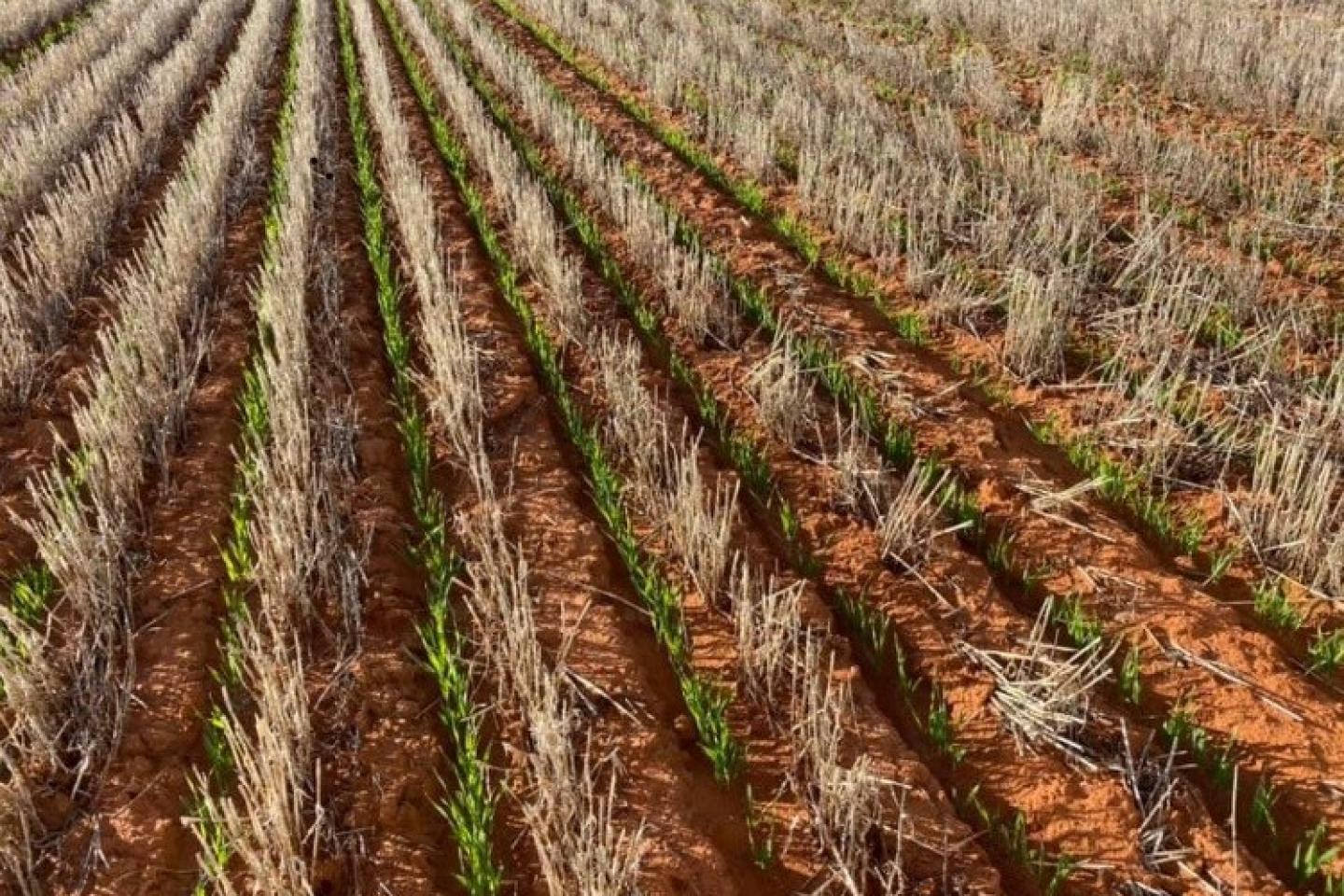 This example of near-row sowing is where Kweda farmer Jeff Edwards is heading with trials this year leading towards establishing the BioFurrow™ system in the near future.