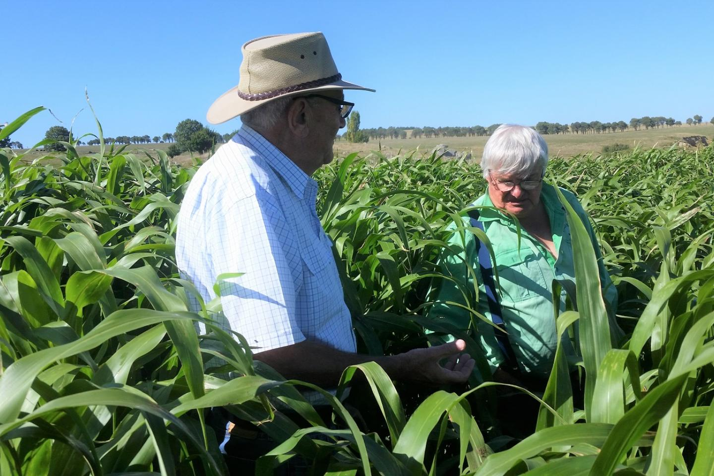 "Ausplow representative Keith Ryan (left) and NSW farmer Greg Chappell examine a flourishing forage sorghum crop. Greg now gets two cuts which he attributes to the DBS> ""It gave us an extra 100 bales, which must be because the roots can now access subsoil moisture,"" he said."