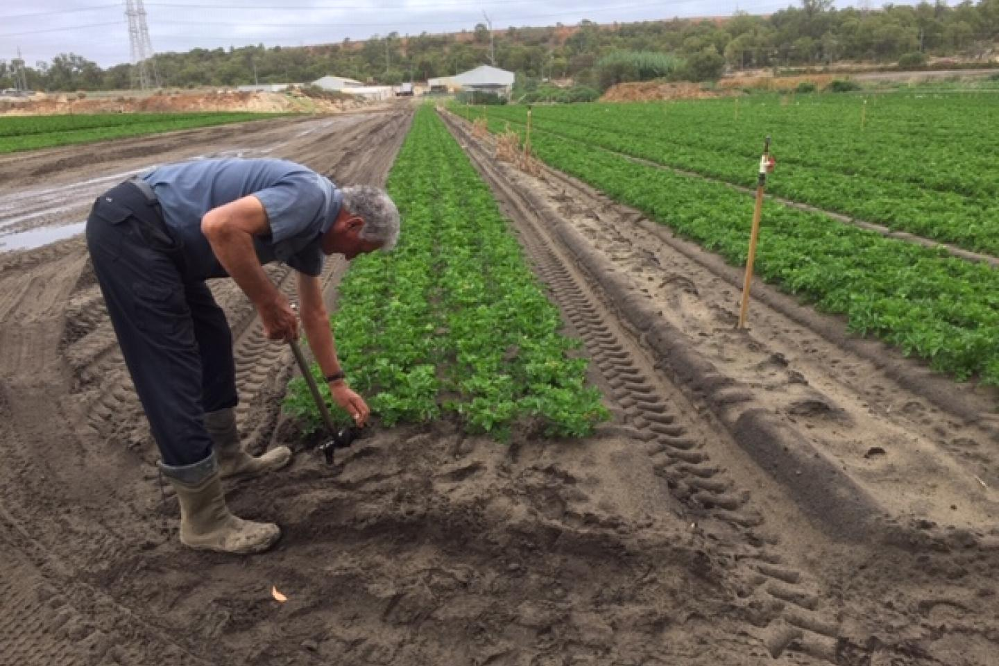 South Fremantle market gardener Lori Sumich is totally convinced deep tillage is a required management practice growing vegetables.