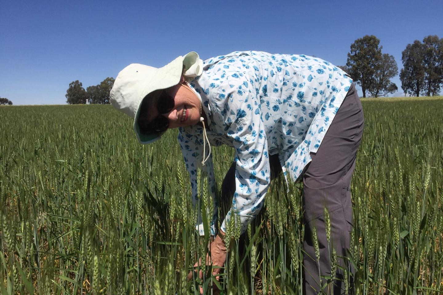 "Ausplow researcher and former CSIRO scientist specialising in microbiology, Dr Margaret Roper, taking plant head counts at the Ausplopw  Quairading trial site. ""The plants have stood up well considering the low growing season rainfall,""she said."