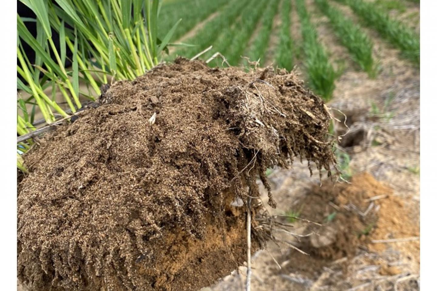 Classic root 'dreadlocks' are a sign of a healthy plant in healthy soil.