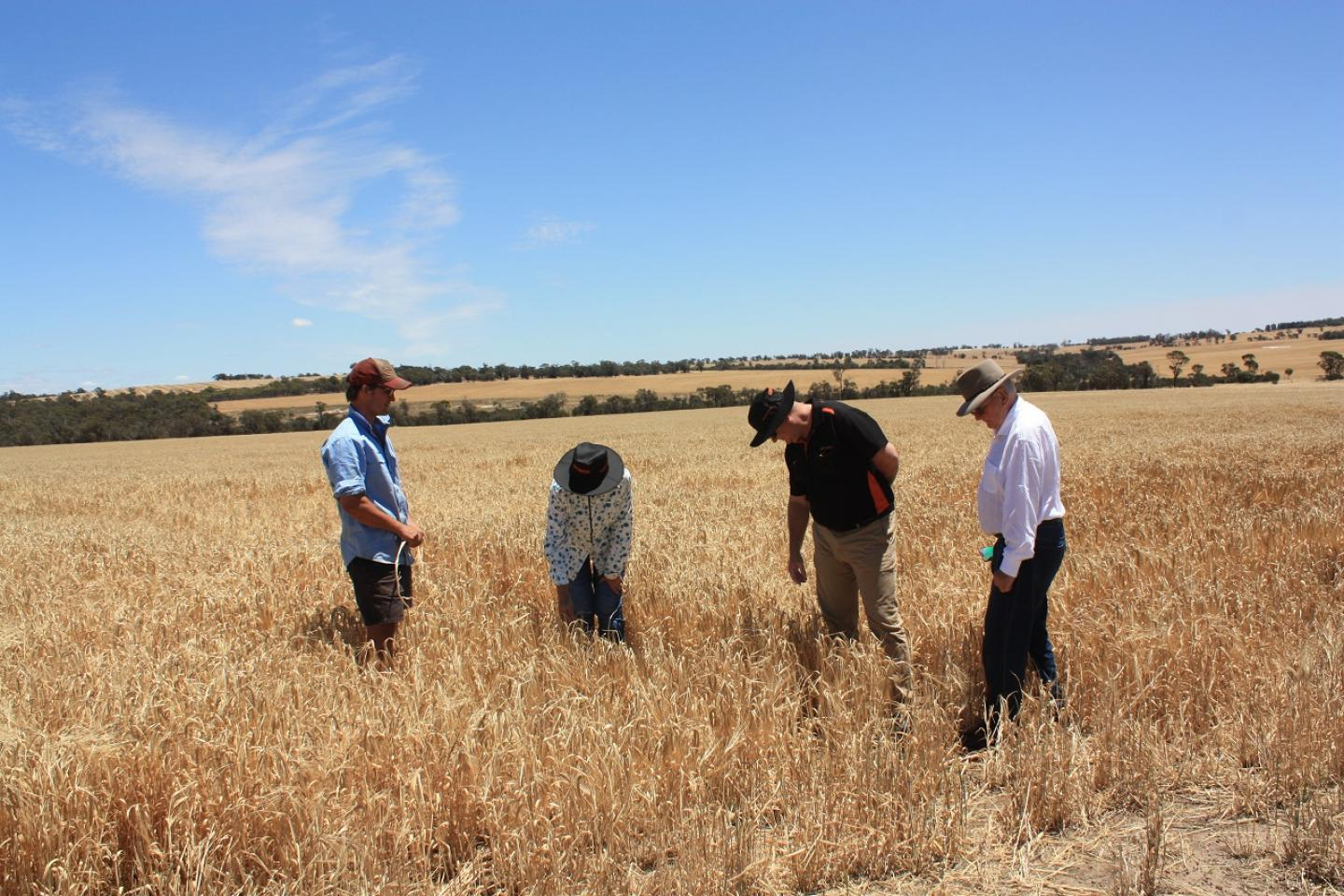 Cranbrook farmer Theo Cunningham (left), talks with Ausplow consultant Dr Margaret Roper, Ausplow General Manager Chris Farmer and Managing Director John Ryan AM in a freshly-harvested crop of Planet barley to examine the closeness of the roots to the previous year's row.